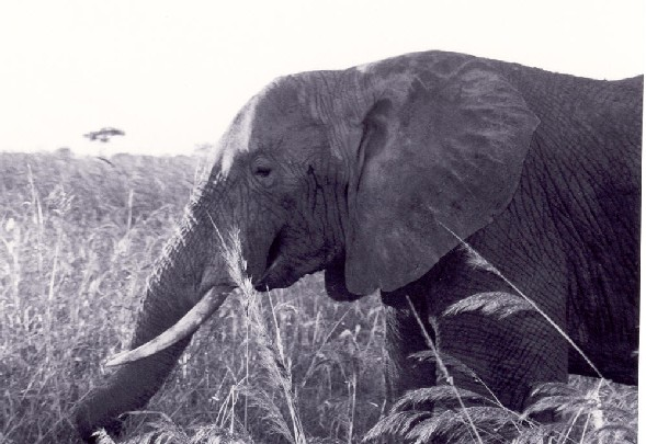 Black and White picture of an elephant