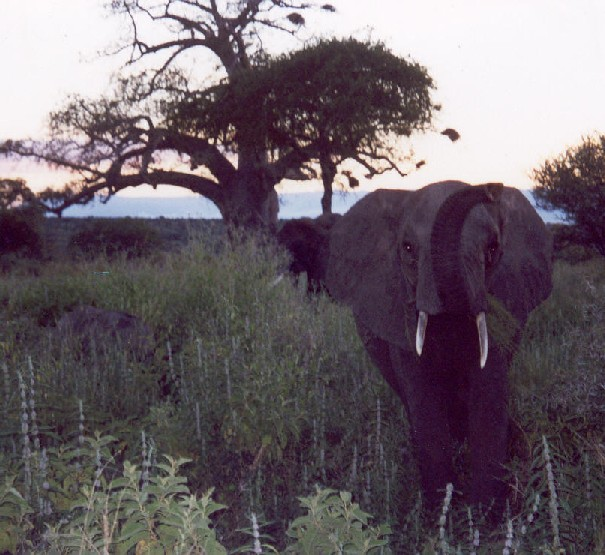 elephant trumpeting at tarangire